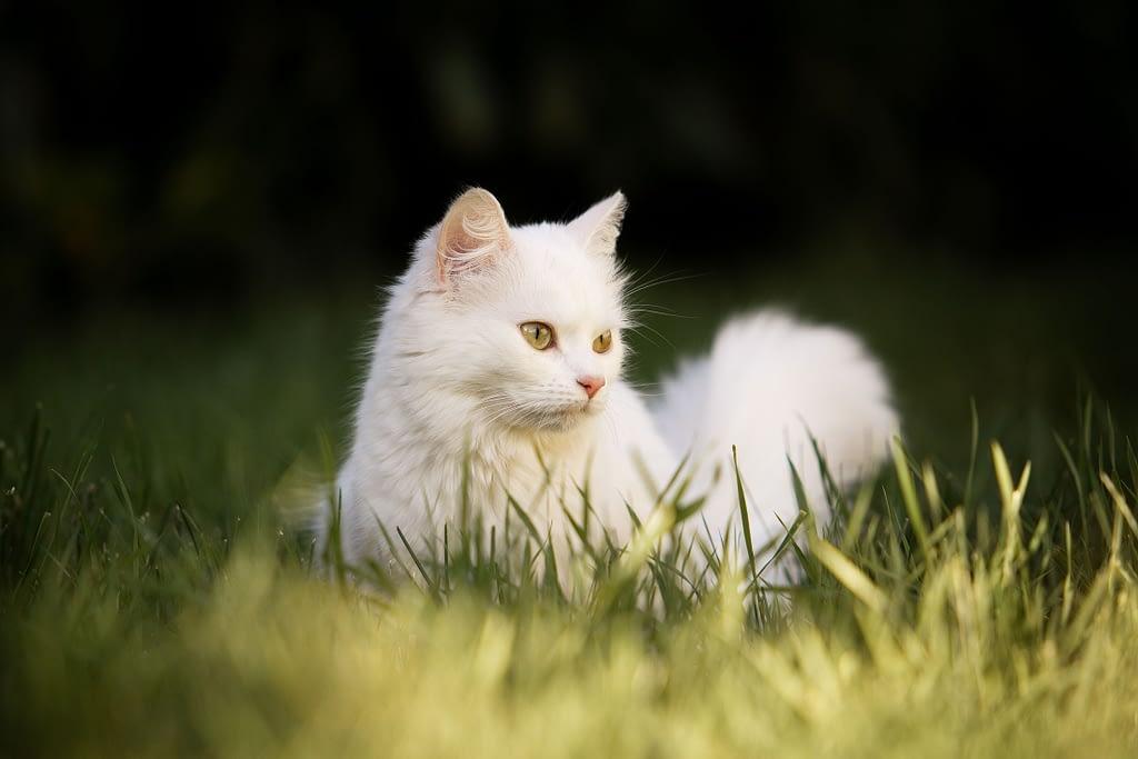 Photographie animalière - Chat blanc dans la nature