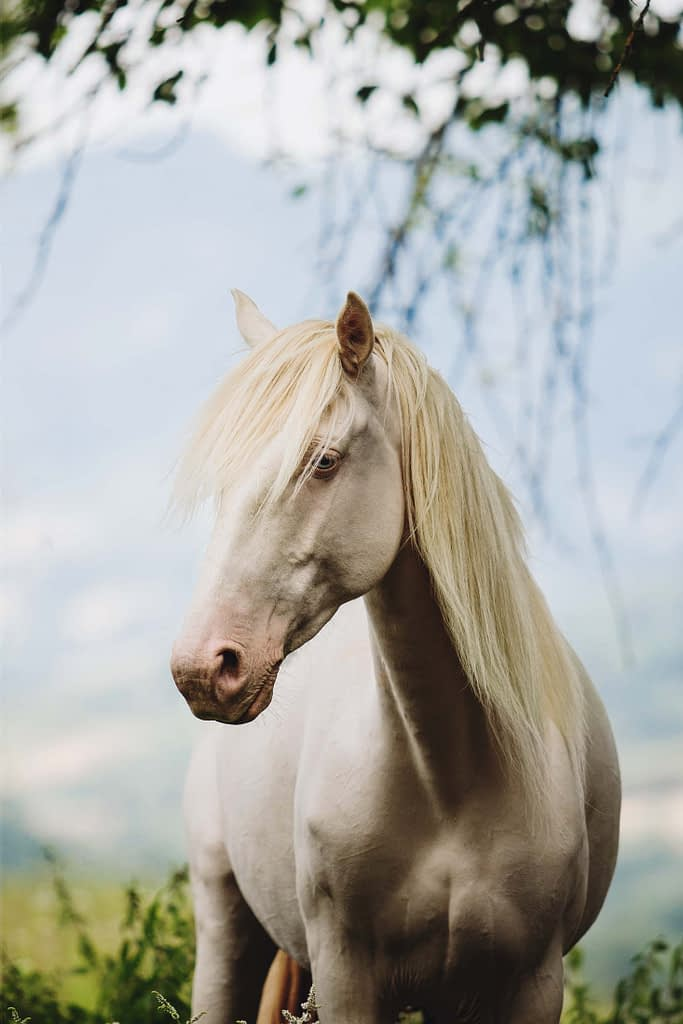 Portrait équin - Photographie équestre - Edoras cheval cremello yeux bleus