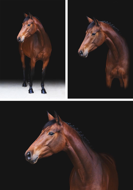 cheval bai sur fond noir