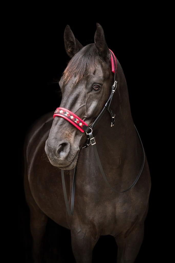 Cheval sur fond noir portant un side-pull biothane de la marque Horse & Ropes