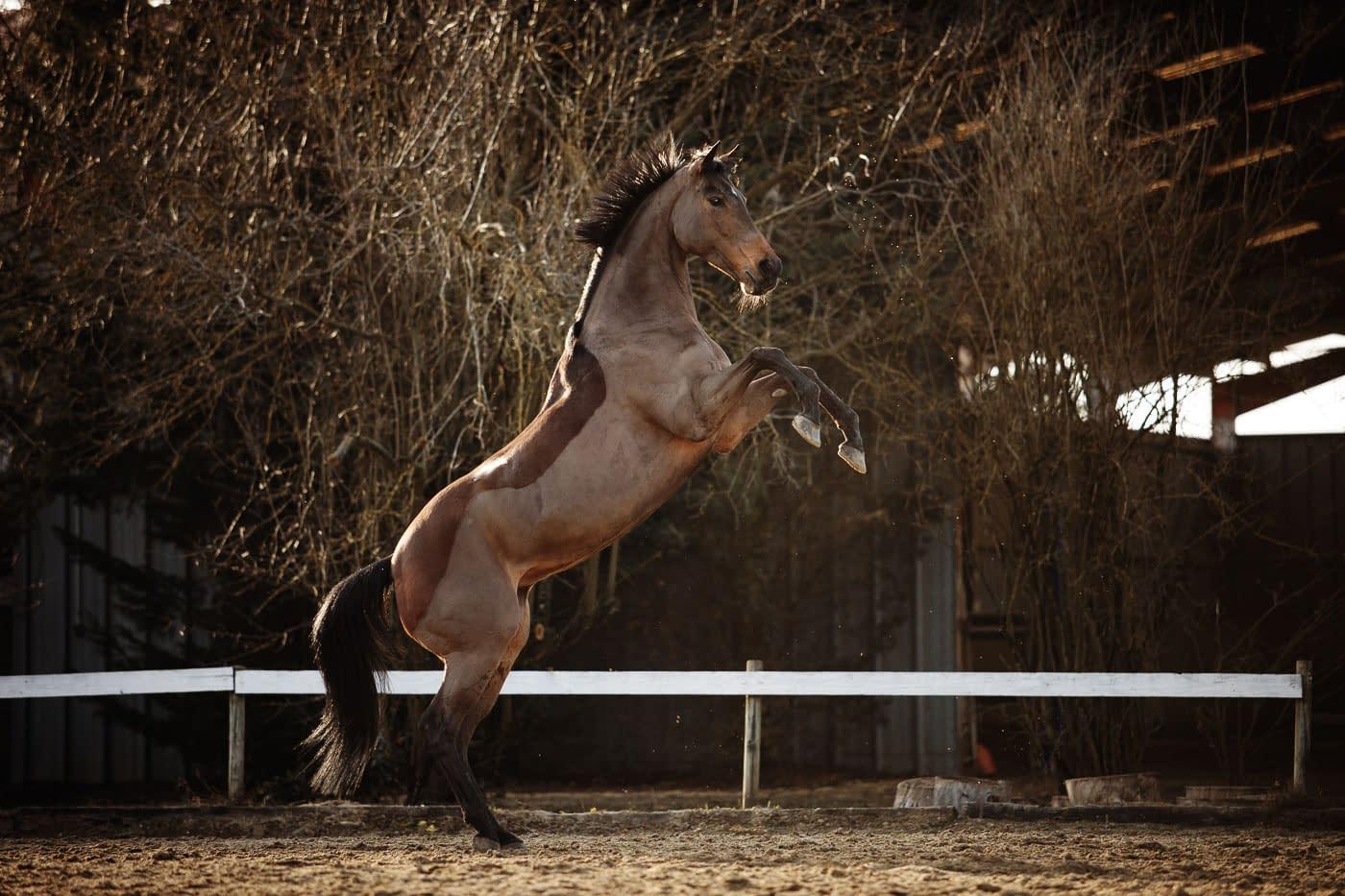 Cheval qui cabre, cadré d'un pur sang anglais - Faustine Gauchet