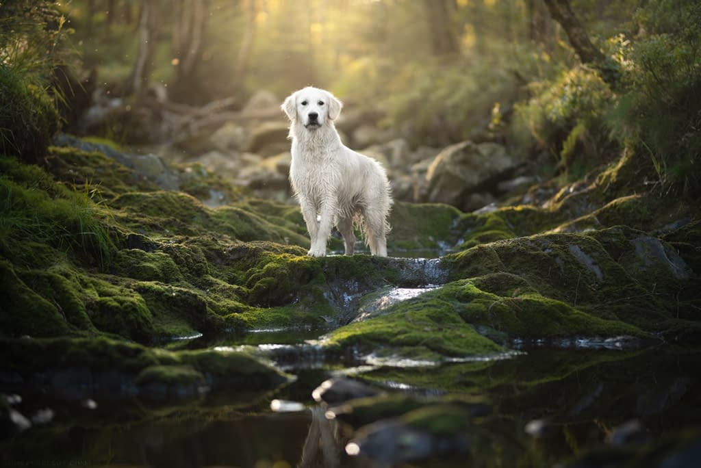 un labrador pose au milieu d'une cascade de mousse verte en foret