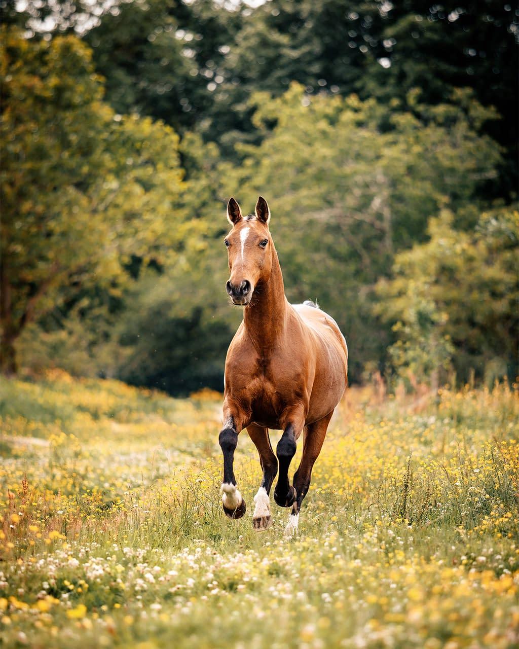 Portrait cheval bai au galop dans un champ