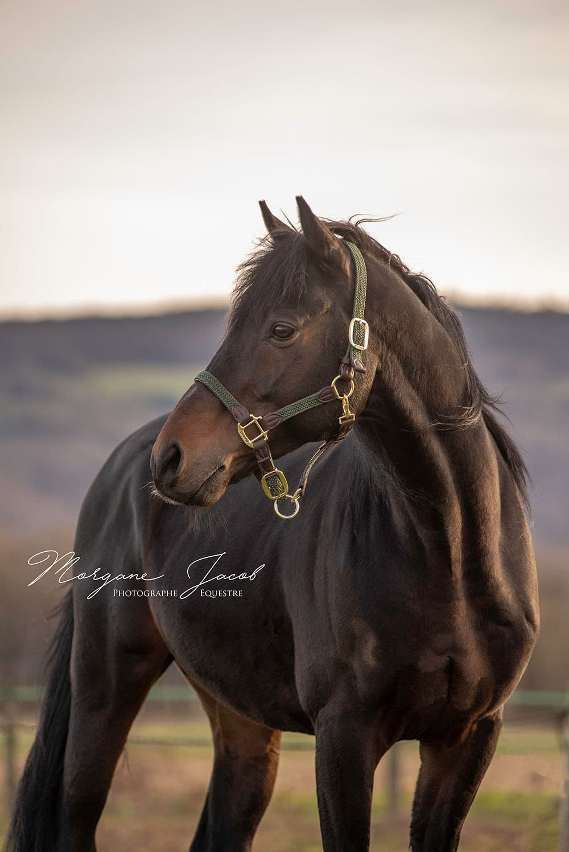 Portrait d'un cheval en fin de journée - Morgane Jacob