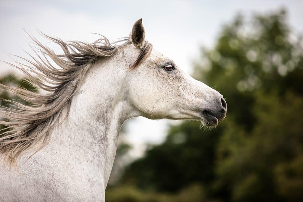 tête cheval arabe gris cours de photographie Faustine Gauchet