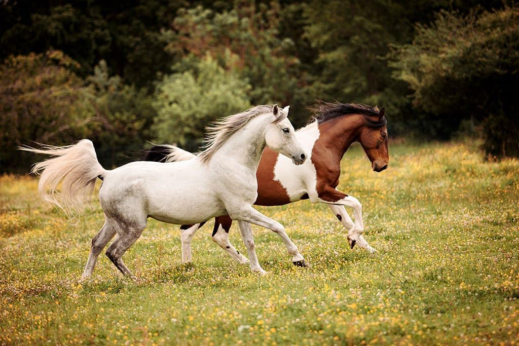Deux chevaux au galop, cours de photographie équine Faustine Gauchet