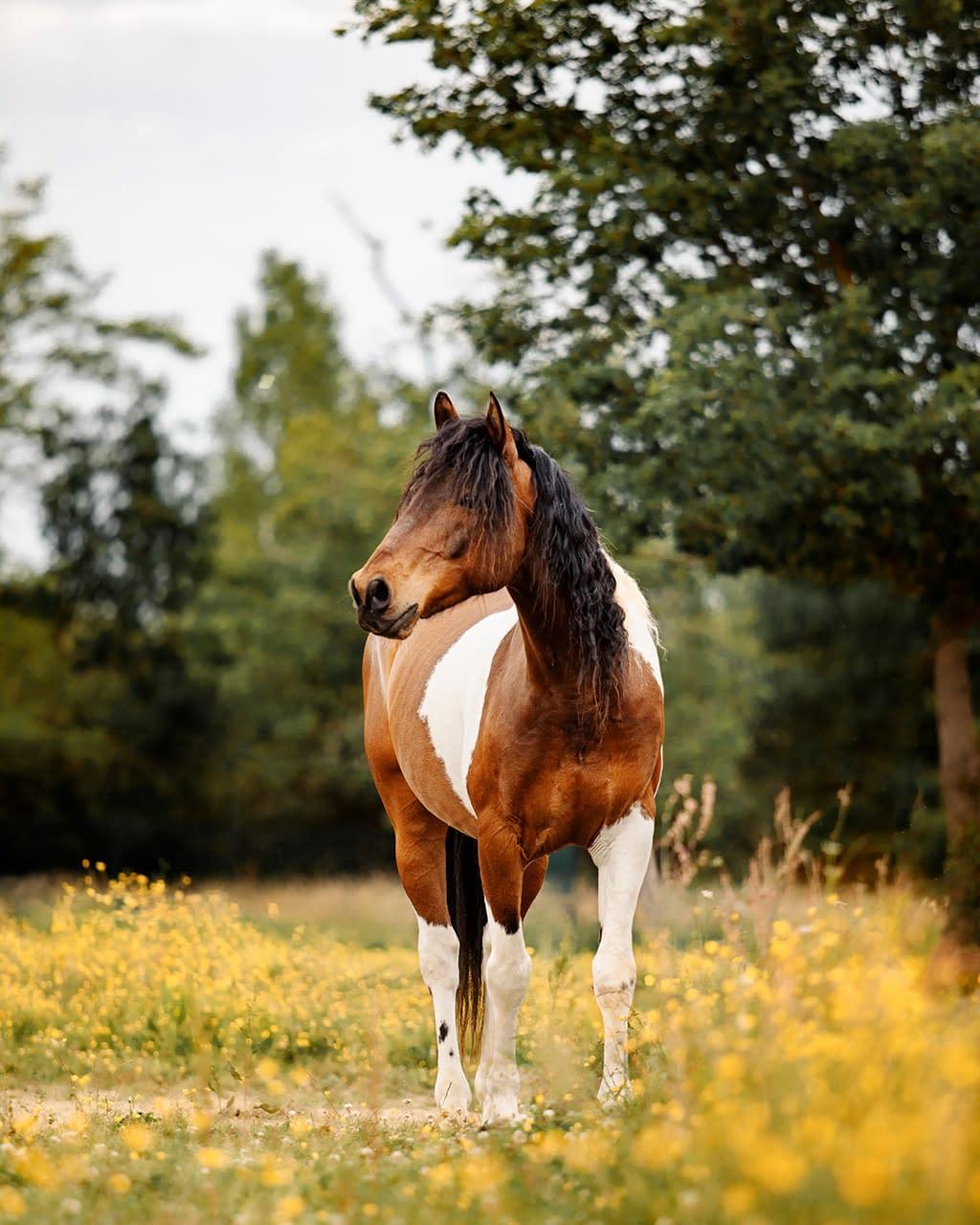 portrait d'un cheval pie dans les fleurs jaunes photo: Faustine Gauchet