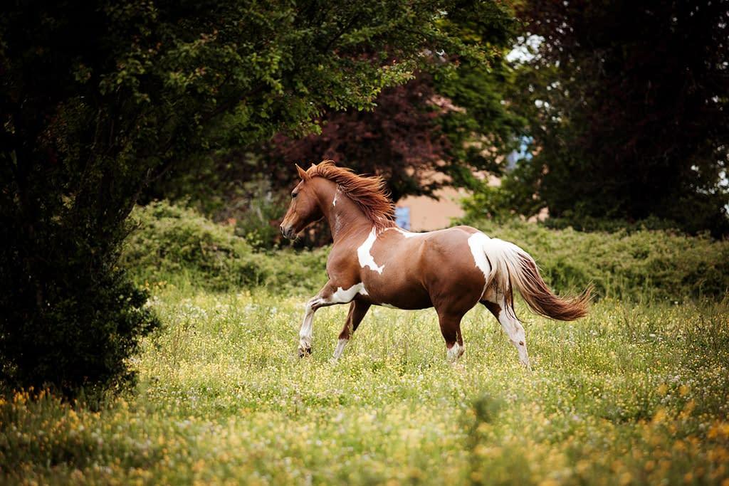 cheval pie au galop dans un champ photo: Faustine Gauchet